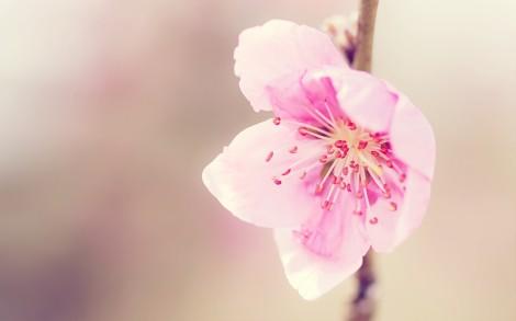 FreeGreatPicture.com-29909-peach-blossom
